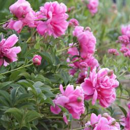 freetoedit peonies pink pinkflowers garden