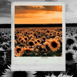 freetoedit sunflower background wallpaper aesthetic