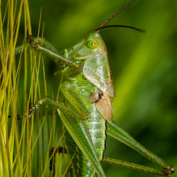 freetoedit naturephotography grasshopper macro insect