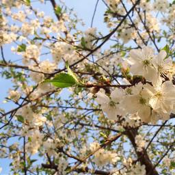 flowers spring cherryblossom cherrytree white freetoedit
