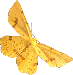 freetoedit moth yellow insect bug