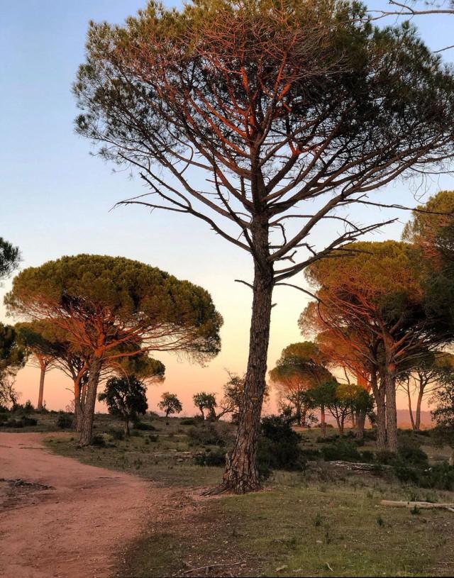 #morningwalk #nature #morningsunriselight #pathway #pinetrees #beautifulmorning #sunnydays #naturephotography                                                                                          #freetoedit