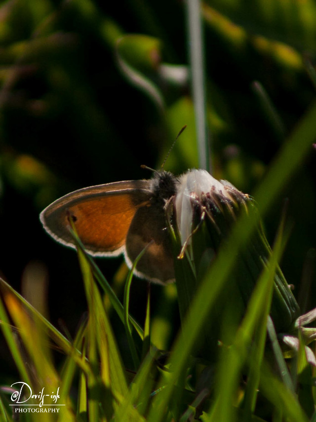 3rd spiders, insects & co collection no 2  Small heath - Coenonympha pamphilus  #freetoedit #photography #butterfly #insect #nature