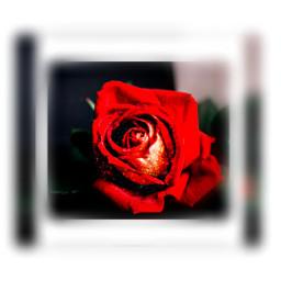 freetoedit roses rosesarebeautiful rose god