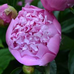 kinora peony peonyflower myphoto spring