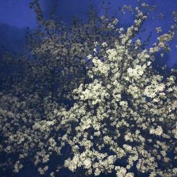 freetoeditremix blossom flower color whiteflowers