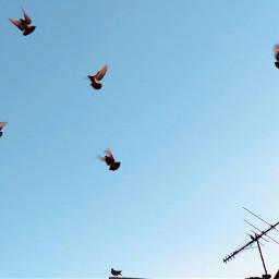 freetoedit flockofbirds birdsinflight silhouettes sky