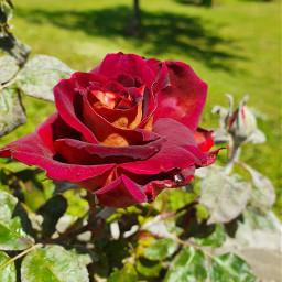 roses rosa beautifypicsart beautifull
