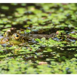 frog animal naturephotography water puddle freetoedit