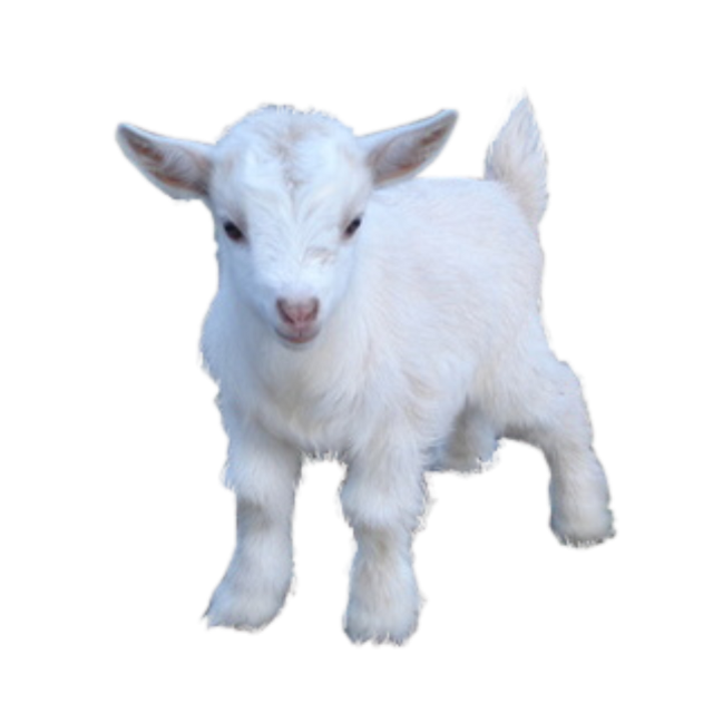 #cute #goat #animalcore #baby