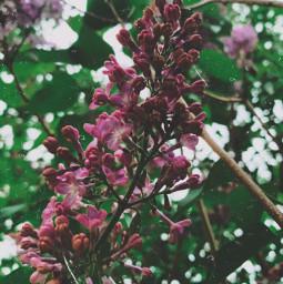 myphoto picsarteffects flower lilacaesthetic floral freetoedit