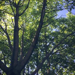 tree nature minnesota summer naturaleza freetoedit