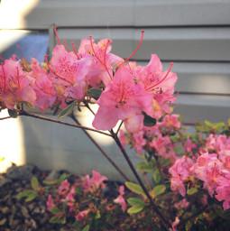 flower flowers pinkflower blacklivesmatter summer freetoedit