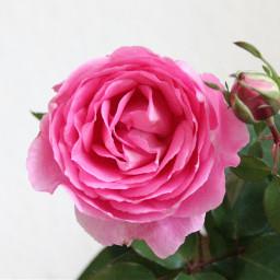 freetoedit stayinspired naturephotography flower flowerphotography