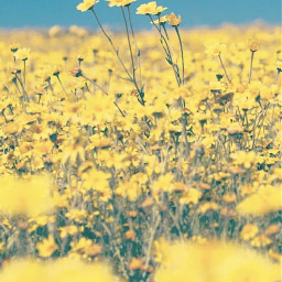nature brightsunnyday fieldofflowers yellowflowers simpleflowers freetoedit