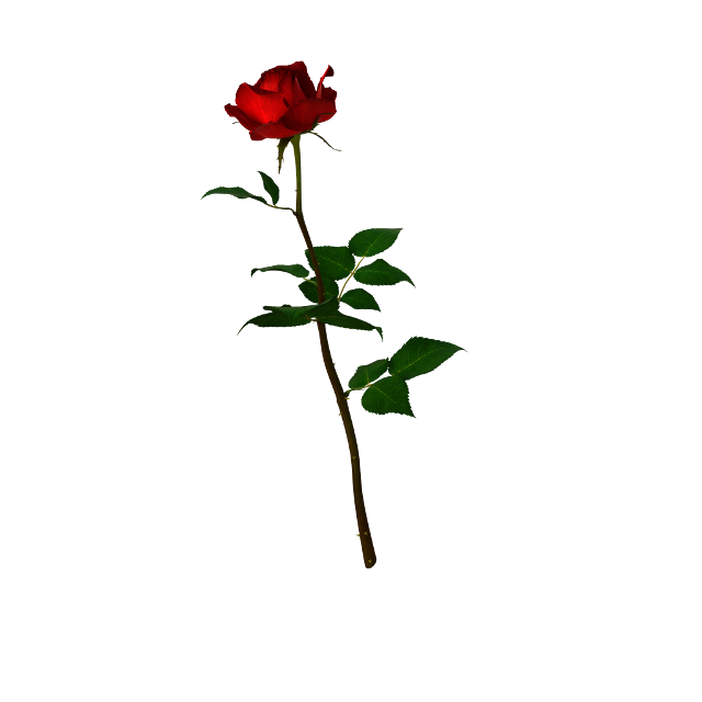 #freetoedit #rose #red #redrose #singlerose #andreamadison