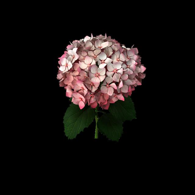 #freetoedit #hydrangea #pink #flowers #andreamadison