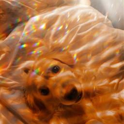 goldenhour puppy puppies aesthetic goldenretriever freetoedit rcgoldenhour
