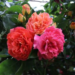 flower rose mygarden freetoedit