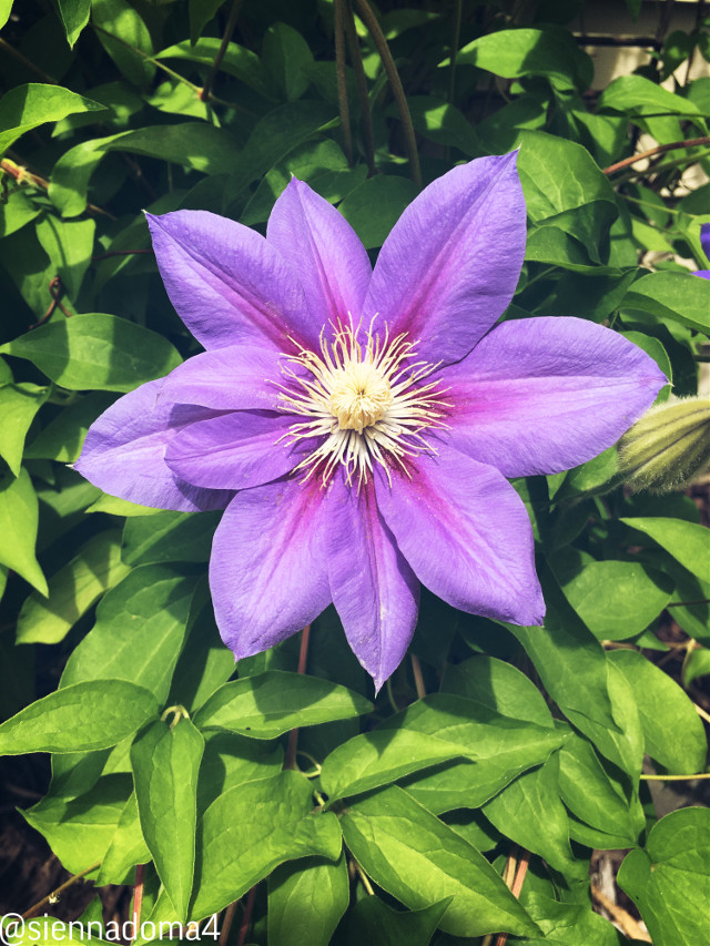 Purple blossom- :D  @nqstiyq @xxjxst_leaxx @thats_mali / @just_mali_ @dilara_2210 / @the_lil_honey @artist_noor @ruyacenik_02 @gweni_120208 @jennaulin (flower is in her yard :D ) @rachelvbsb88 @aggie2_0 💗💗💗  I hope everyone has a great day or night! 😄 Stay safe!   #flower #purpleflower #nature #naturaleza  🪐🦋✨ 👊🏻👊🏼👊🏽👊🏾👊🏿  #freetoedit