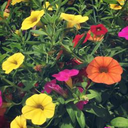 flowers summer minnesota plants nature freetoedit