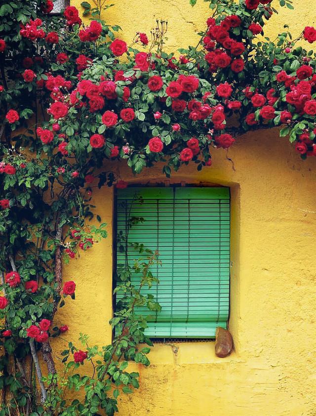 #urbanexploration #house #housewall #window #rollingshutters #architecture #climbingplant #rosebush #urbannature #redroses #boldcolors #colorcontrast #rusticbeauty #urbanexploringphotography   #freetoedit
