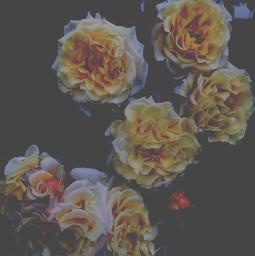 freetoedit summer flower flowerphotography myart