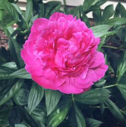 flower pinkflower june minnesota summer freetoedit