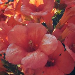 freetoedit flower flowerphotography nature plant