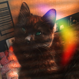 freetoedit cat kitten blinds shaddoweffect rcgoldenhour goldenhour