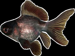 freetoedit aesthetic blackaesthetic black goldenfish