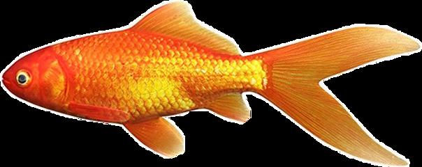 freetoedit aesthetic orange fish goldenfish