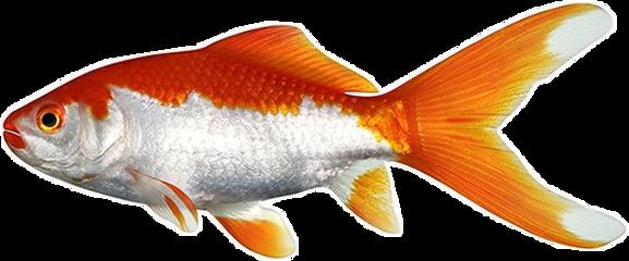 freetoedit goldfish goldenfish aesthetic orangeaesthetic