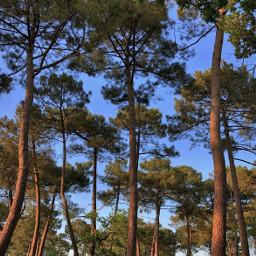 beautifulmorning nature trees talltrees pinetrees freetoedit