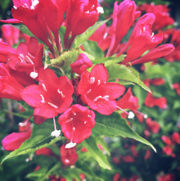 flowers pinkflower flower minnesota june freetoedit