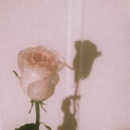 glitter rose mine freetoedit photography