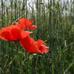 freetoedit poppy poppies nature naturephotography