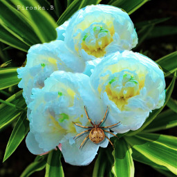 edited flower peonyflower flowerart myart freetoedit