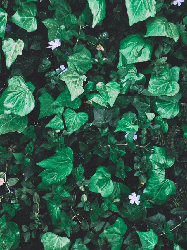 #ivy #plant #plants #green #flower #nature #greenery #wilderness #outside #lavender #flora #vine #leaf #leaves #photography #landscape #color #greens #interesting #remixit #freetoedit