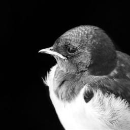bird blackandwhite minimalism swallow closeup