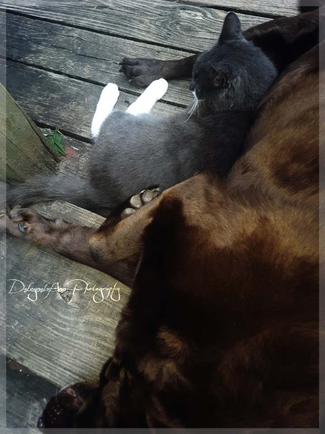 Maggie the labrador and tom the cat! What a pair! Cuddles for days!!!!  #furbabies   #oppositesattract  #puppylove  #kittycuddles  #kittycat  #kittylove
