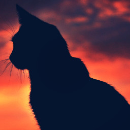 freetoedit photography silhouette animals cat