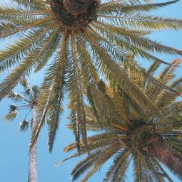 nature trees palmtrees warmweather summertime freetoedit