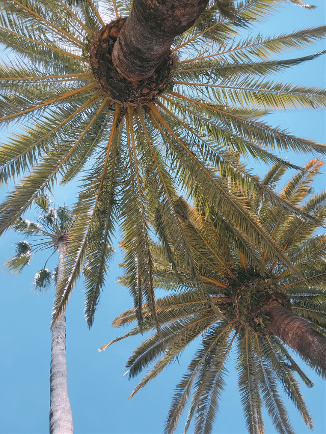 #nature #trees #palmtrees #warmweather #summertime #brightsunnyday #bluesky #lowangleshot #naturephotography   #freetoedit