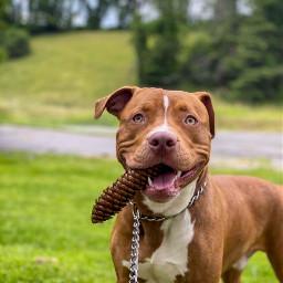 pitbull pitbullmom doggo love mypet freetoedit