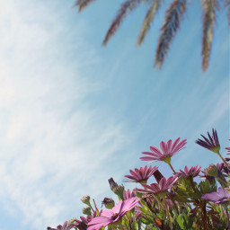 nature garden flowers daisies pinkdaisies freetoedit