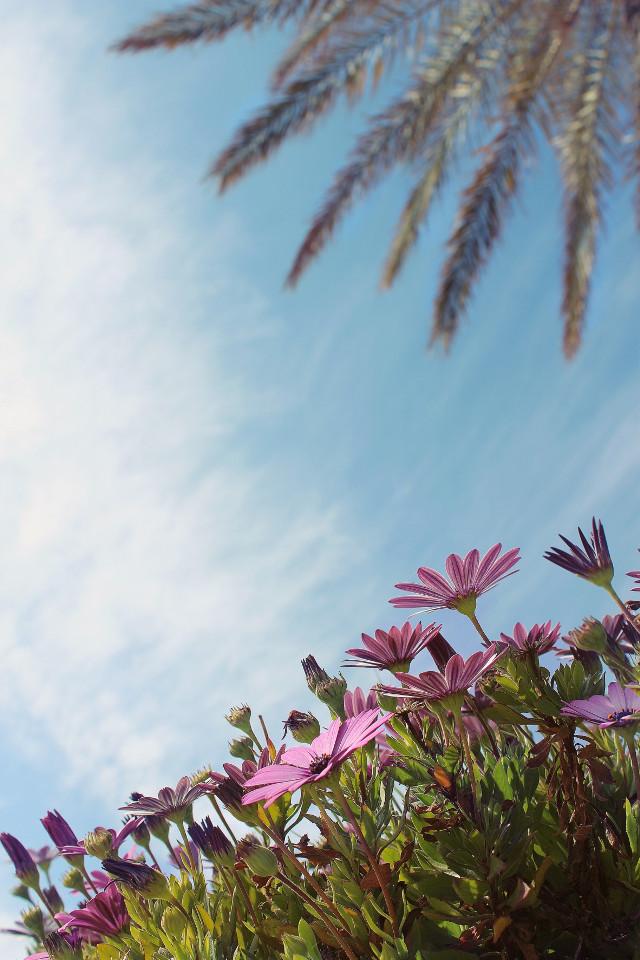 #nature #garden #flowers #daisies #pinkdaisies #palmtree #palmleaves #depthoffield #skyandcloudsbackground #lowangleshot #naturephotography                                                                       #freetoedit