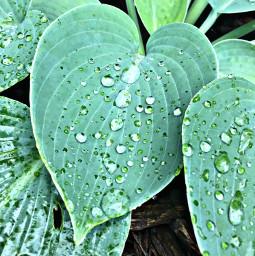 dew raindrops leaves plant nature freetoedit