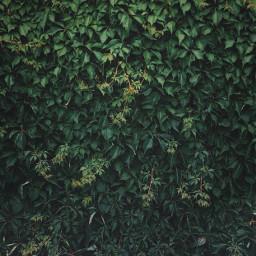 green climbingplant hedera ivy greenleaves freetoedit