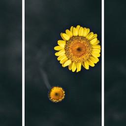 freetoedit sunflower flower frame floral